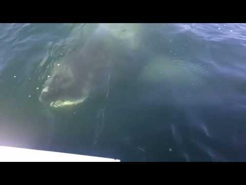 Huge Shark Lurks Just Below Surface Near Fishermen's Boat Off Cape Cod