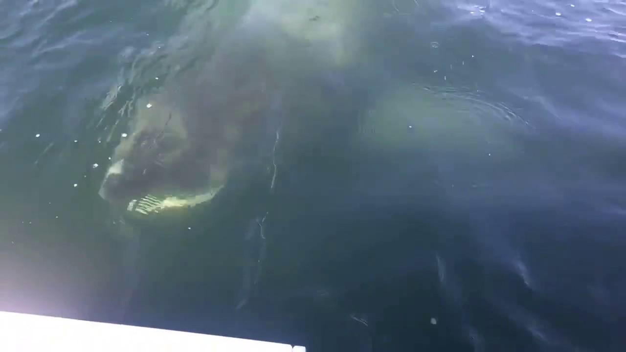 Huge Shark Lurks Just Below Surface Near Fishermen S Boat