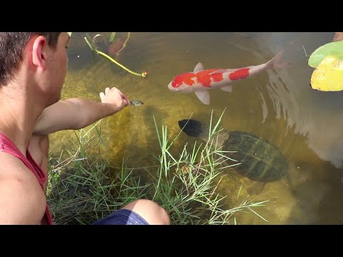 WILD PET FISH ARMY LOVES TO BE HAND FED!!