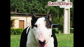 Canil Difaro Bull Terrier - Alguns De Nossos Cães