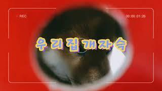 우리집 개자슥 - 첫 대면 (닥스훈트,시바견)  시바~…