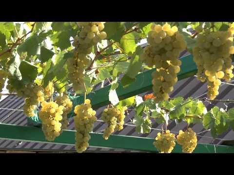Цитронный Магарача винный сорт винограда
