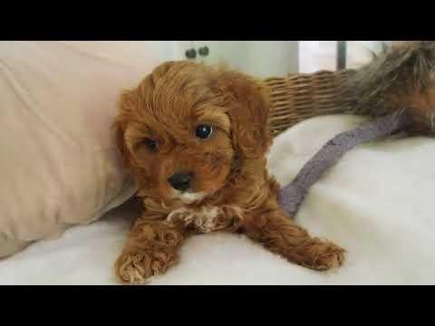 Suzie's Toy Cavoodle Girl 5084 - Pocket Puppies