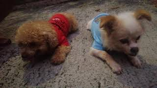 Playing time poodle dog seventy and nemo shih tzu chihuahua breed/maria angelica Gaño