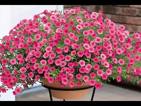 Kết quả hình ảnh cho hoa triệu chuông