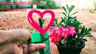 Veja o Resultado da Rosa do Deserto Brotando Fácil
