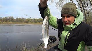 Рыбалка на Чехонь. Как Ловить Чехонь на Фидер