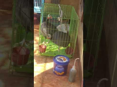 Suara khas burung mutiara atau ayam mutiara