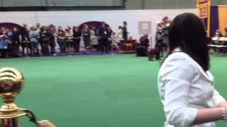 138th Westminster Kennel Club Dog Show - Field Spaniel Group - Judg...