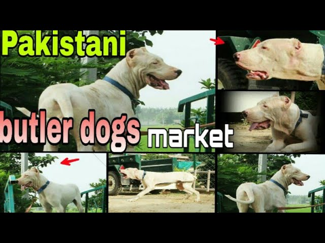 Kohati BULTER dogs (with prices)
