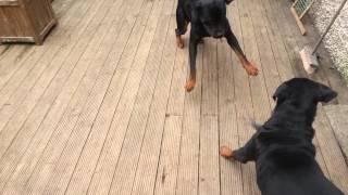 Rottweiler Male Vs Rottweiler Female