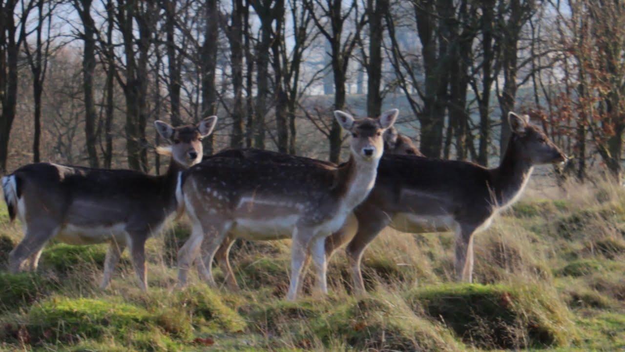 Uk deer park scenery in hd youtube for Deer scenery