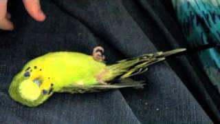 Bird/Budgie Playing Dead