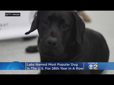 Most Pupular! Labrador Retrievers Top List Of Dog Breeds For 28th Year