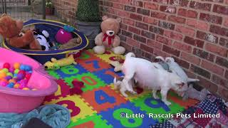 Little Rascals Jack Russell Puppies