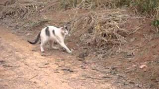 Gato brinca e Mata cobra jararacuçu