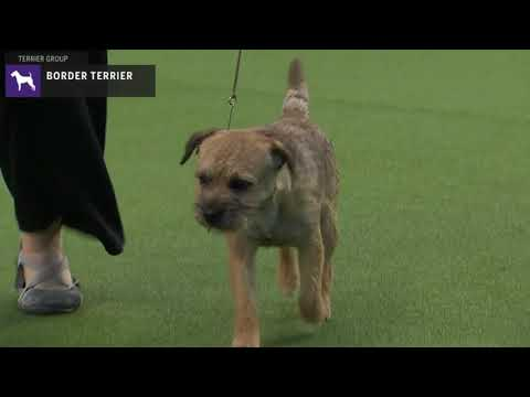 Border Terriers | Breed Judging 2020