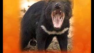 Hey Little Devil (Tasmanian Devils).wmv