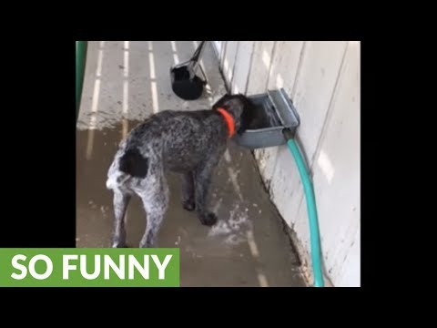 Wirehaired Pointer turns water bowl into play toy