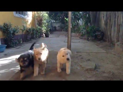 7 week old german shepherd/golden retriever mix puppies respond to command