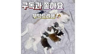 (강아지) 시츄 퓨리패밀리 생후 1주일 모유수유해주기