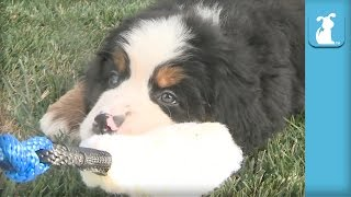 I Dare You Not To Smile At These Floppy Bernese Mountain Dog Puppies! - Puppy Love