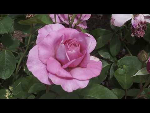 Ароматные розы для сада! Декоративный сад 7
