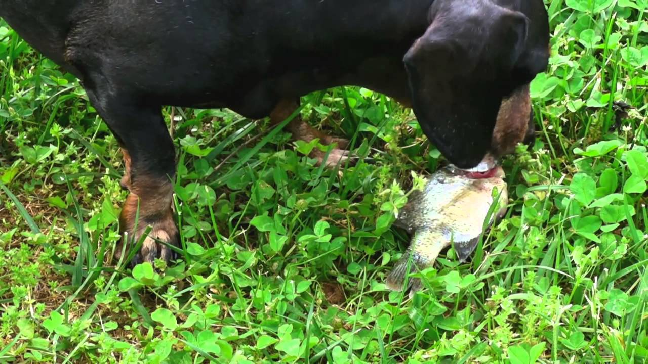 Jagger the dachshund dog catching killing eating a fish for Is fish bad for dogs