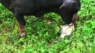 Jagger The Dachshund Dog Catching, Killing & Eating A Fish In Pond (at Around 1 Minute Mark)