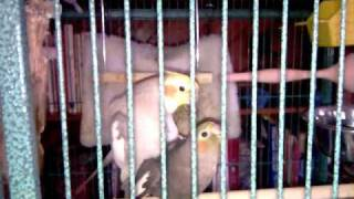 "Cockatiel Having Sex Then Whistling "" Whistle While You Work"" (ORIGINAL VIDEO)"