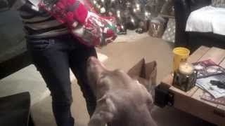 Weimaraner Dog Westminster Wanna Be Champ Of 2015