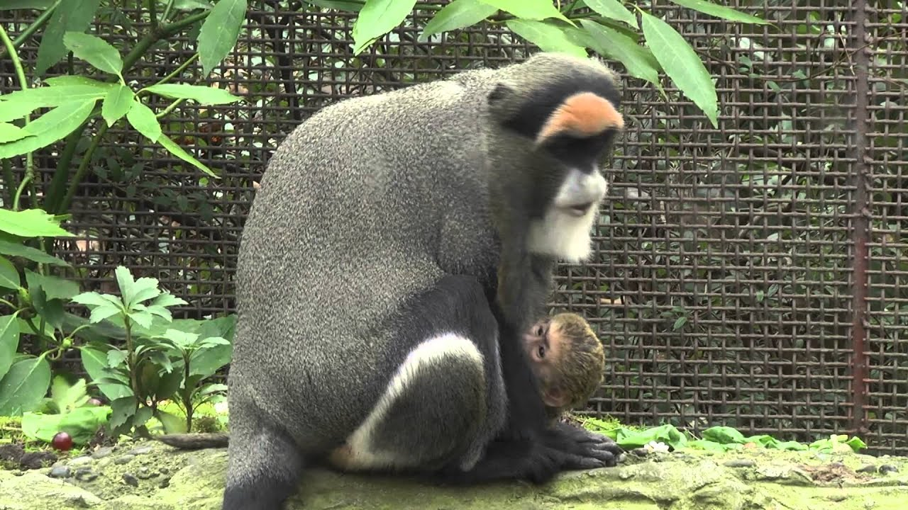 Baby De Brazza S Monkey Youtube