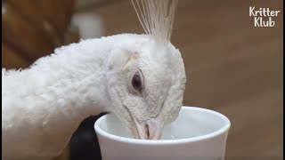 Not Even A Pet Dog Tastes Water In A Cup Like This Elegant White Peacock | Kritter Klub