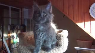 Котенок голубого окраса питомник Mary'sCats