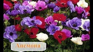 видео Неприхотливые цветы для клумбы цветущие все лето, низкорослые