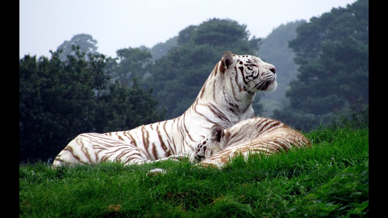Wildlife Animals White Tiger Documentary | Animal Planet ...