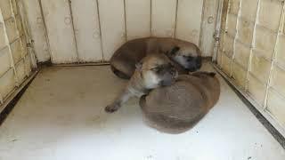 モモの子犬3兄妹の生後6日、体重も倍になり丸々としてきました。