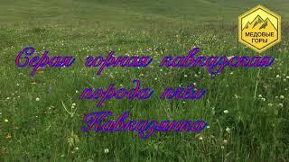 В. Г. Кашковский quot;Серая горная кавказская порода пчел - кавказянкаquot; 24.04.2019