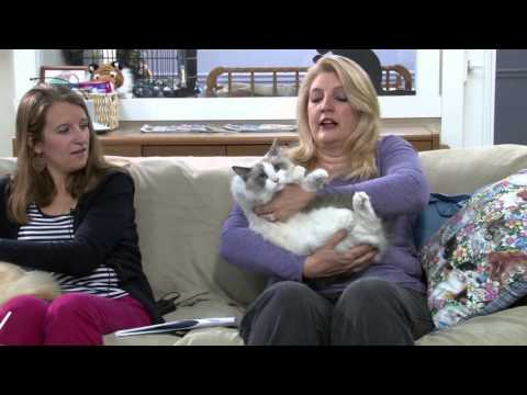 Cat Chat - Ragdolls