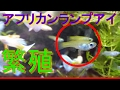 【アクアリウム】アフリカンランプアイの繁殖 の動画、YouTube動画。