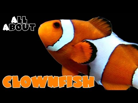 All About The Percula Or Ocellaris Clownfish