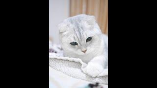 Scottish fold | Top Cat Breeds