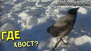 Почему ворона без хвоста?