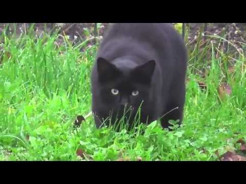 Black cats always hungry - Black cats the best mouser