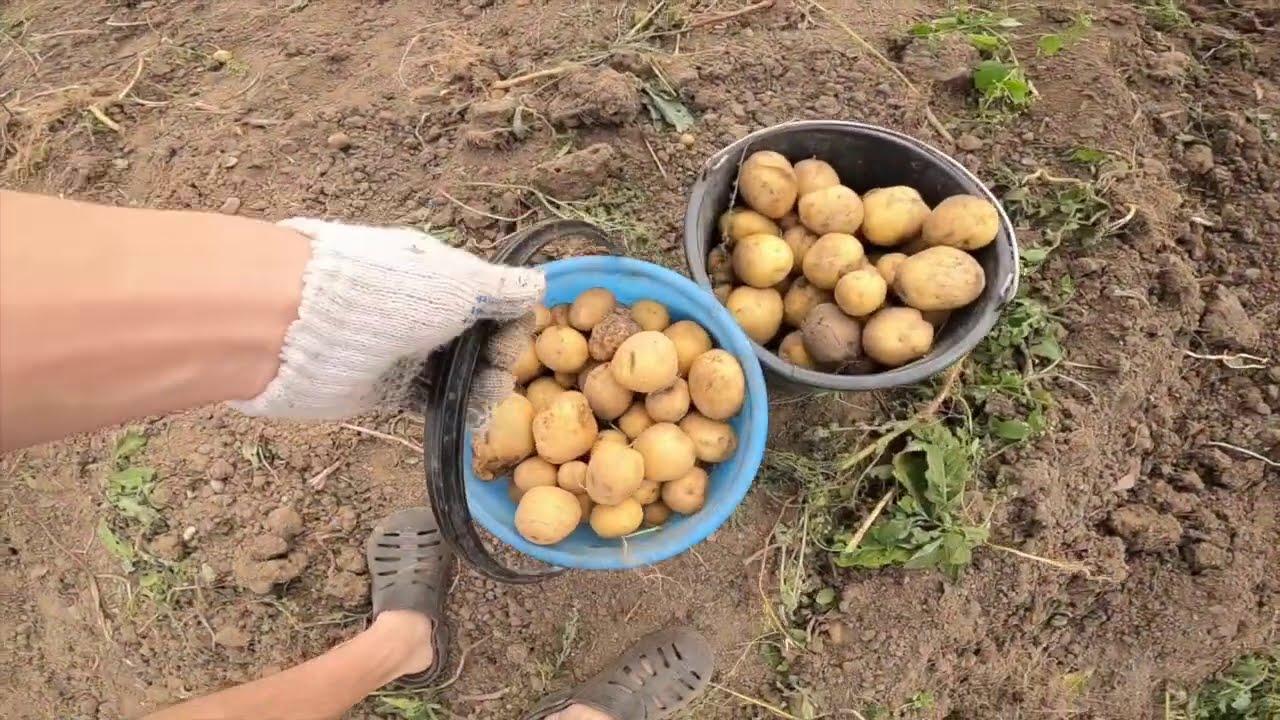 семейные посиделки / вот такой урожай картошки !!!! что делать???