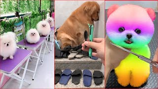 Funny and Cute Dog Pomeranian   Funny Puppy Videos #26