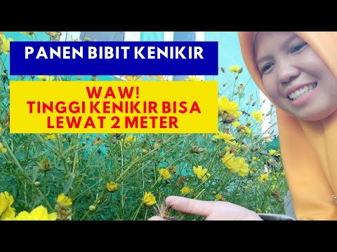 Panen Dan Semai Bibit Kenikir Kuning | Kenikir Subur Tingginya 2 Meter