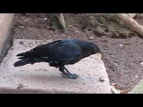 Joe the talking crow