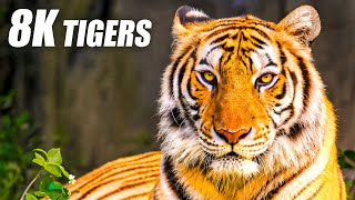 Unique Tigers Collection 8K HDR 60FPS ULTRA HD