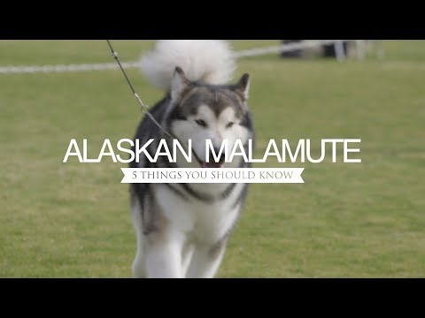 ALASKAN MALAMUTES FIVE THINGS YOU SHOULD KNOW